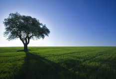 Tree,green field,blue sky Royalty Free Stock Photos