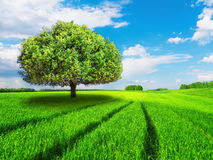 Tree green field idyllic landscape blue bright sky clouds road tire tracks. The tree stands in a green field. Idyllic landscape. Yargoe blue sky with white Royalty Free Stock Photos