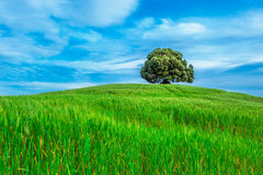 Tree in the green field Royalty Free Stock Photo