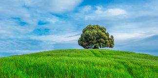 Tree in the green field Royalty Free Stock Image