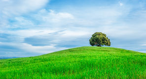 Tree in the green field Stock Image