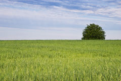Tree and green field of oats stock image