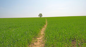 Tree in a green field Royalty Free Stock Photography