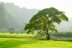 Tree in the green field of rice. Big tree in the rice field Stock Photography