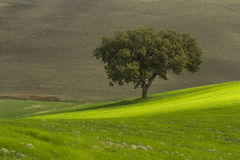 Tree in green field in Tuscany Stock Photography