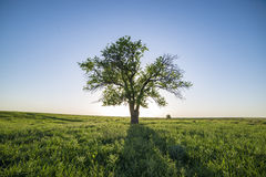 Tree in green field. In the village stock photos