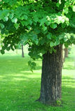 Tree with green foliage Stock Photo