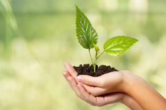 Tree green fresh in female hand Royalty Free Stock Image