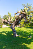 Tree on green grass and blue sky, Greece, Chania, Crete. Royalty Free Stock Image