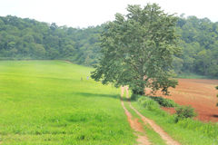 Tree in green grass field, road in farm. Royalty Free Stock Photography