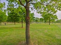 A tree on the green grass at Hangang Park, Seoul, South Korea royalty free stock photos