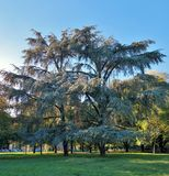 Tree in green grey tonalities. Trees in the pubblic garden Milano Italy green grey tonalities, grass, sky Stock Image