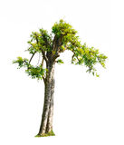 Tree. Green tree isolated on white Royalty Free Stock Photography