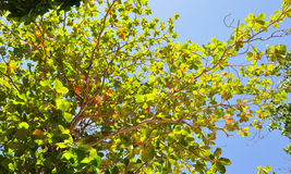 Tree. Green leaf on clear sky Royalty Free Stock Image