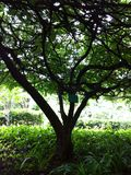 Tree green leaf nature background light Royalty Free Stock Image