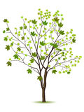Tree with green leafage. Isolated on a white Royalty Free Stock Photography