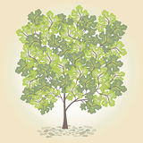 Tree with green leafage. Tree with green leaves on a white background Stock Photo