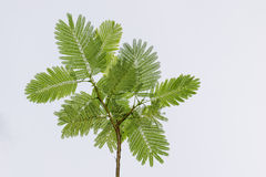 Tree green leafs. Royalty Free Stock Images