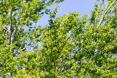 Tree with green leaves against the blue sky Royalty Free Stock Photos