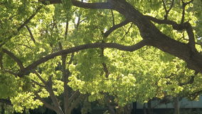 Tree and green leaves. Close-Up of a tree with green leaves and sunshine stock video
