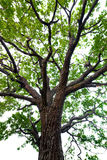 Tree with green leaves. Oak. isolated Royalty Free Stock Photo