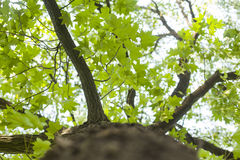 Tree with green Leaves and sun light. Bottom view background Royalty Free Stock Photo