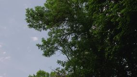 Tree With Green Leaves. Blue sky clouds in park parkland forest b roll details shot background stock footage