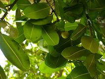 Tree with green leaves. In tropic stock images