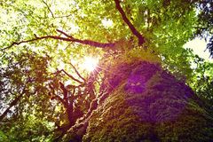 Tree. Green tree with lens flare Royalty Free Stock Photo