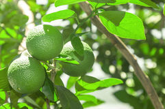 Tree with green lime fruits with leaves on the background. Organic green lemon fruit ready for harvest Stock Photo