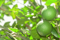 Tree with green lime fruits with leaves on the background. Organic green lemon fruit ready for harvest Royalty Free Stock Photos
