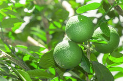 Tree with green lime fruits with leaves on the background. Royalty Free Stock Photography