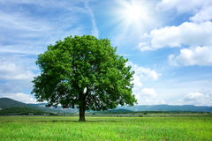 Tree on the green meadow Royalty Free Stock Image