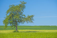 Tree on a green meadow Royalty Free Stock Images
