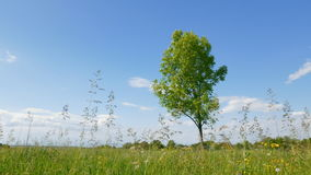 Tree on green meadow. On blue sky background stock video footage