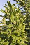 Tree with green medlars Stock Photos
