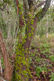 Tree with green moss Stock Photography