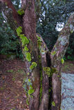 Tree with green moss Royalty Free Stock Images