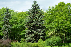Tree in the green park. (in summer Royalty Free Stock Photos