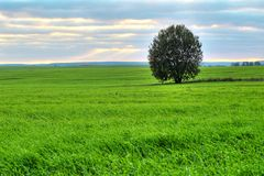 Tree on a green pasture Royalty Free Stock Photo