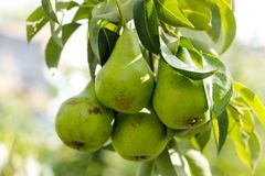 Tree with green pears on sunset stock image