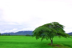 Tree and green rice field Royalty Free Stock Images