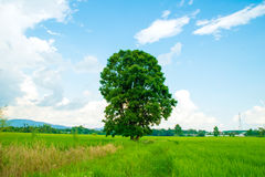 Tree on Green rice fields Stock Photography