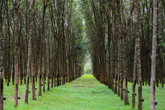 Tree. Green rubber plantation in Thailand Royalty Free Stock Images