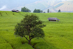Tree in green terraced rice field at Ban Pa Bong Peay in Chiangm Stock Photography