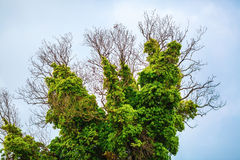 Tree with green vegetation. Close-up of a tree covered with lush green vegetation. Old dry tree, densely braided green bindweed with lush foliage royalty free stock photo