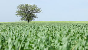 Tree and green wheat Royalty Free Stock Photo