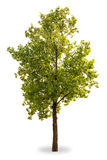 Tree. Green tree on white background Royalty Free Stock Image