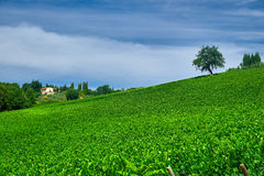 Tree on a Green Wine Field Royalty Free Stock Photo