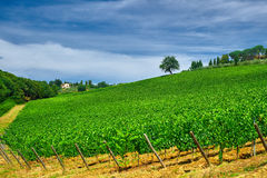 Tree on a Green Wine Field Stock Photography